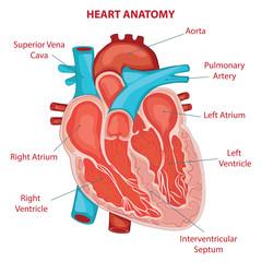 HEART ANATOMY cross section diagram