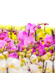 Colorful orchids against a white background