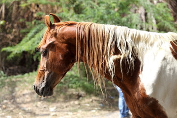 brown and white horse