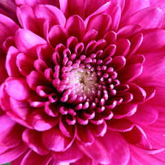 Close-up View of Chrysanthemum Flower
