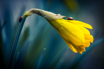 Beautiful narcissus flower with two ladybug on it.