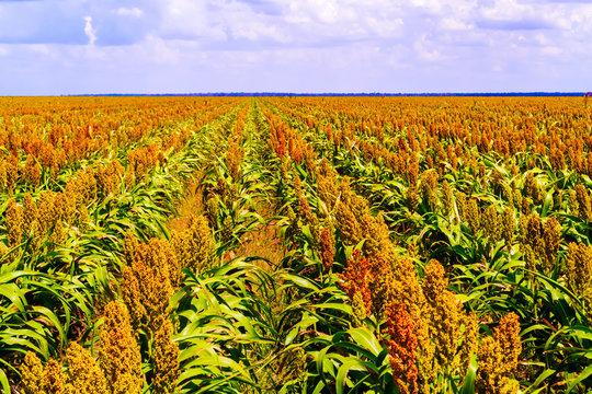 Sorghum plants fields in Botswana