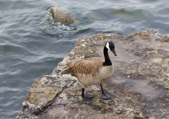 Beautiful cackling goose is staying on the rock near the water