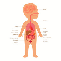 human body anatomy,  child vector medical organs system,