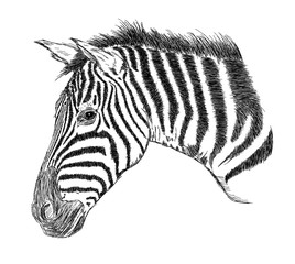 Detailed Zebra Face Vector Illustration - Handmade