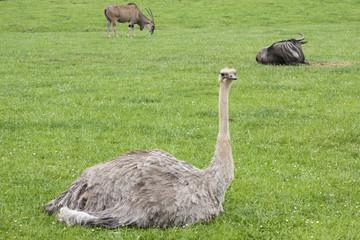 Avestruz y otros animales, ñu y antílope