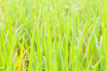Water droplets perched atop the grass.