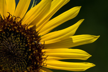 Yellow Sunflower Petals Against a Dark Green Background