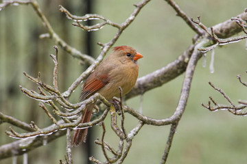 Female Cardinal perched during an ice storm.