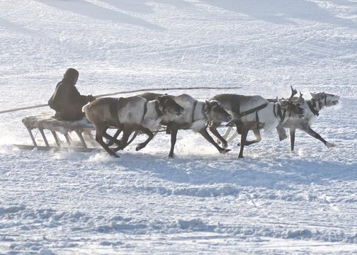 Local inhabitant drives a team of arctic deers in Northern Siberia
