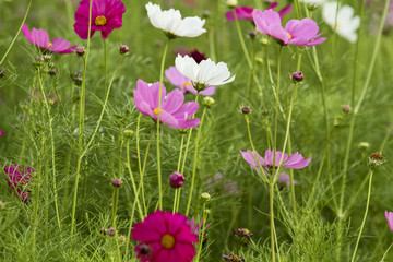 Wall Mural - the cosmos flower in the garden for background