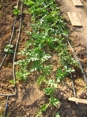 melon and watermelon seedlings with drip irrigation