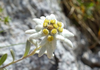 Edelweiss (Leontopodium alpinum) in natural habitat