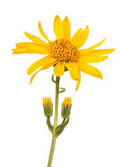 Fototapete - Arnica montana isolated on white background