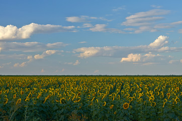 Sunflower and clouds.