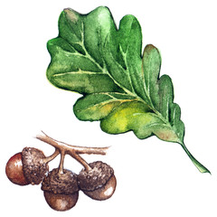 Watercolor three oak green leaf acorn seed isolated