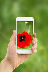 Using mobile phone to take photos of beautiful poppy flower