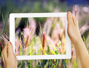 Using tablet to take photos of spikelets in field