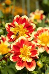 Gartendahlie - Dahlia hortensis