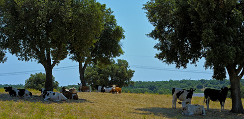 Cows Murgia defend themselves from the summer heat in the shade of a large oak trees. Apulia