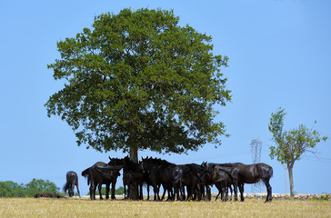 Horses typical Murgia defend themselves from the summer heat in the shade of a large oak tree. Apulia