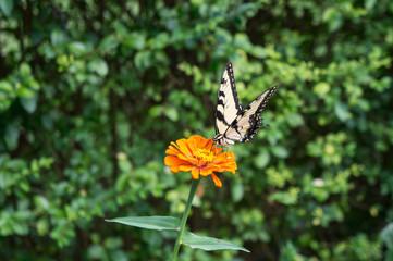 Yellow Butterfly on an Orange Zinnia