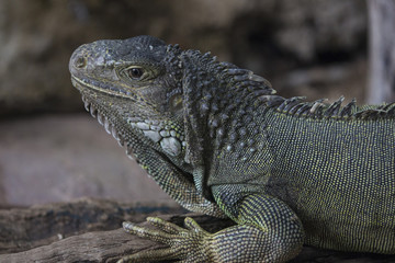 Beautiful iguana lizard