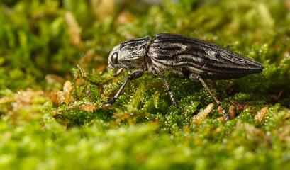 Beetle over broom moss