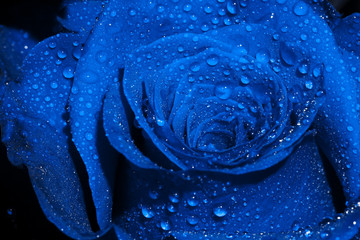 Blue Rose with Droplets