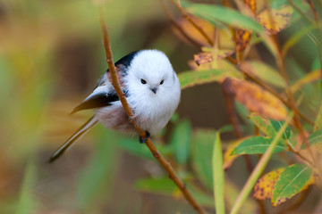 Long-tailed tit in autumn leaves