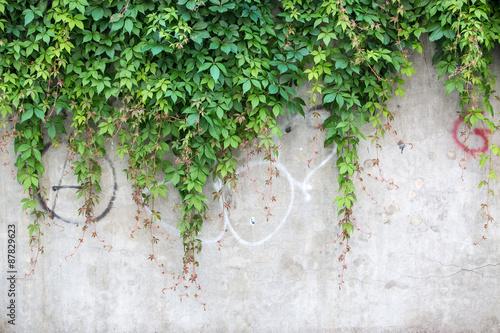 Textura de muro verde. Planta trepadora sobre muro de jardín.\