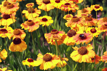 Field beautiful Gaillardia flowers