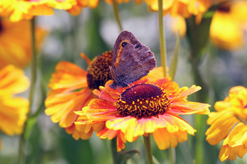 Beautiful Gaillardia flowers with a butterfly