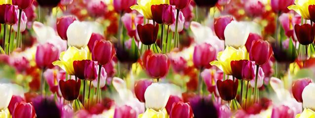 Fotoväggar - buntes Tulpen-Panorama von der Frühlingssonne beschienen