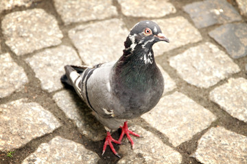 Dove walking on town square