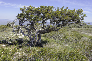 Old Curlleaf Mountain-Mahogany Tree