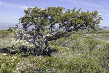 Old Curlleaf Mountain-Mahogany Tree