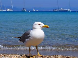 mewa, gull