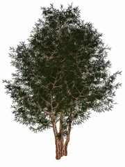 English or European yew, taxus baccata tree - 3D render