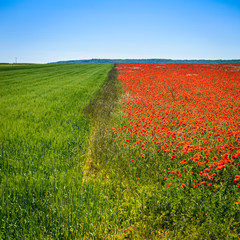 Colors of nature:green wheat field,red poppy flowers and blue sky.