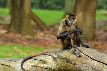 Spider Monkey sit on a tree trunk