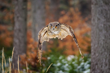 Fototapete - Flying Eurasian Eagle Owl in colorfull winter forest