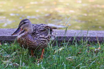 Duck standing in grass
