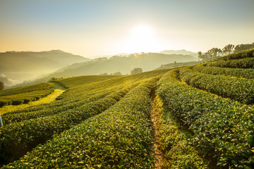 Sunrise view of tea plantation landscape at 101 Chiang Rai Tea,N