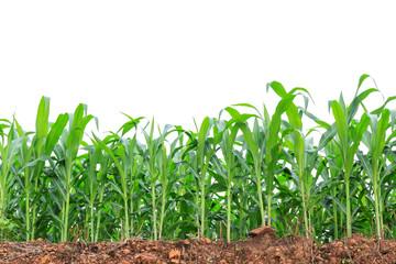 Green corn field on white background