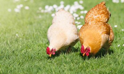 Two free range chickens on lush green grass.