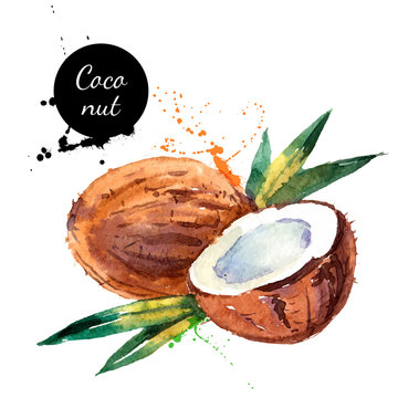 Hand drawn watercolor painting fruit coconut on white background