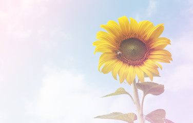 Sunflower over cloudy blue sky with color filters soft focus