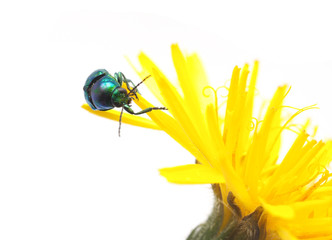 Beetle on a yellow flower on a white background