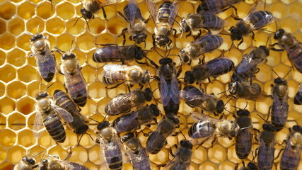 Queen and Her Worker Bees: A queen bee on a honey comb being attended by worker bees